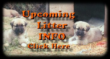 Upcoming Litters - Semavi Anatolians