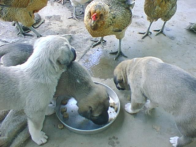 [ Pups vs Chickens ]